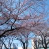 2019年 市役所通り さくら 開花情報 (3月24日)‼