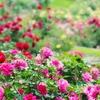 花フェスタ記念公園|岐阜県可児市|バラの香りがいっぱいで優雅な気持ちになります^^年間パスポートの作り方