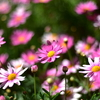 🌼F1.4縛りで近所の花を撮影しました!