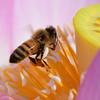 🐝不忍池 今週のミツバチと蓮の花✿
