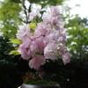 桜の盆栽が満開になったよ