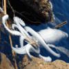 【地震前兆】6月28日に島根県沖の島町北東部の浄土ヶ浦海岸に約3m・約100㎏の『ダイオウイカ』が漂着!『ダイオウイカ』の漂着は地震の前兆という説もあり、2016年・2019年には見つかった翌日に地震が発生!念のため巨大地震に要警戒!