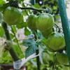 稲の種撒く、トマト大きくなる、インゲン苗植える