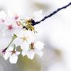 大川端の桜