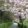 地域で育てた八重桜