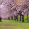 桜のトンネルの下で