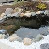 庭の池に金魚とメダカを入れました。横には黒松です