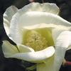 今日の誕生花「ワタ」約8000年前から利用されていたワタ!