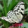 グリーンパークに舞う蝶:オオゴマダラ