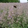 青山ハーブガーデンで見た植物① キャットミント