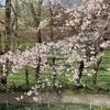 長野県安曇野市「大王わさび農場」の桜の様子 2019.4.17