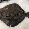 【高級白身魚】この魚、美味しいの!?ちょっと珍しいサメガレイを食べてみた