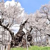 電車とタクシーを乗り継いで山高神代桜をみてきたお話