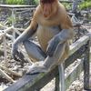 マレーシア、ボルネオ島旅行 ① (テングザルを見たい!)
