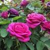 感謝を言葉にしてみる<21日目>~自然と薔薇に癒されました~