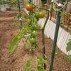 夏野菜の植え付けから10日
