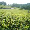 夏の茶畑の変化 ~芽吹きから成熟するまで~