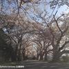 桜 石薬師町