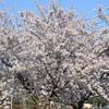 藪野川辺公園の桜