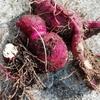 北海道でさつまいもを育ててみた。使ってない畑に植えた編