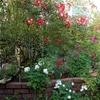 きれいなバラが咲く傍でノコギリや分厚い皮の手袋の出番になりました