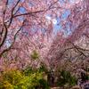 京都一の桜は遅れてやって来る。まさに「桜」源郷の原谷苑【画像大量】