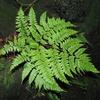 ヒロハナライシダ(ナンゴクナライシダと比較)