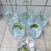 マンゴーの栽培 2.発根から発芽まで