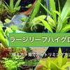ラージリーフハイグロの育て方!初心者向け大きな葉を持つ丈夫な水草