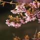 続蝶屋桜の名所づくり