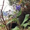 冬のボリジの花とローズゼラニウム