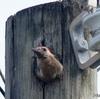 ベリーズ 電柱に巣を作る Golden-fronted Woodpecker(ゴールデンフロンテッド ウッドペッカー)