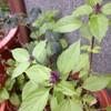ホーリーバジルの花芽
