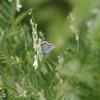7/16・上高地のタカネキマダラセセリとアサマシジミ 〜 憧れの小さな蝶たちに会ってきました