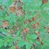 庭のヒメシャラが大変なことに・・・
