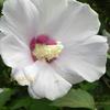 ムクゲ 槿花