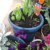 ベランダ栽培 初心者でも簡単オーガニック 春におすすめの野菜はミニトマト