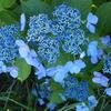 植物からの癒し 変化とバランスを促すアジサイ