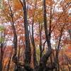 ◆10/29        獅子ヶ鼻湿原⑥…静かな紅葉の林の中を戻る。