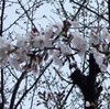 櫻・桜・さくら