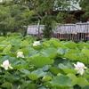 【鎌倉いいね】そろそろ蓮の季節です。八幡様の源氏池の白蓮。