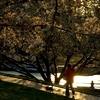 夕陽(せきよう)の桜 Vol.1