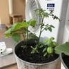 今年のベランダ菜園は、コスパ重視で葉っぱ系やハーブを増やしました。