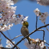長命館公園(仙台市)で、「桜+野鳥」の写真を撮影! 4/16に撮影しました。
