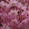 今週末が満開?花見にオススメ桜スポットの大阪、勝尾寺に行ってきました。
