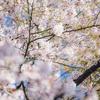 絶対合格桜が満開に咲き誇っています!