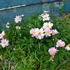 散る花もあれば 咲く花もあり