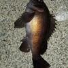 モンスター級の魚が( ☉_☉)   平成最後にやらかしましたw