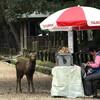 奈良公園のエキサイティング年中行事「鹿の角きり」