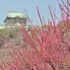 大阪城公園の梅林2017。見ごろや開花状況。